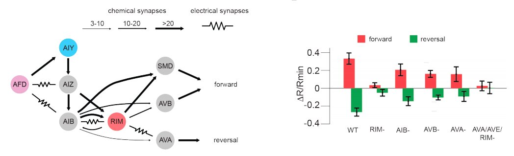 Corollary Discharge Promotes a Sustained Motor State in a Neural Circuit for Navigation   bioRxiv