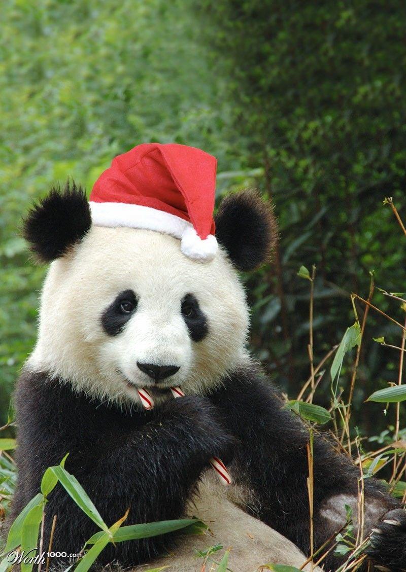 Santa Panda #LesserKnownSantas