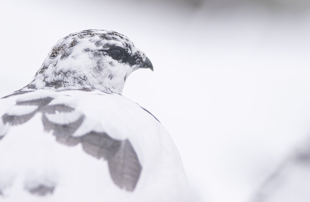 It has been a wet, grim day here in the Highlands, so I have spent the day processing images from my first winter wildlife photography tour of the season (earlier this week). This ptarmigan was a treat to photograph, after a long, slow approach through the snow. <br>http://pic.twitter.com/c8Pn5IKn90