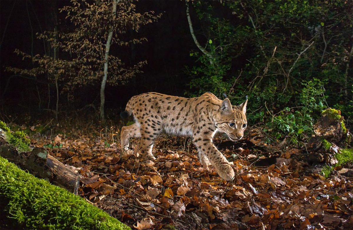 It seems likely that the British Isles will be the last corner of Europe to regain any of its missing large carnivores.  Our book, The Lynx & Us, explores the facts and dispels the myths on what it would mean to live alongside lynx.  Get your copy here: http://scotlandbigpicture.com/Store/books/the-lynx-and-us…