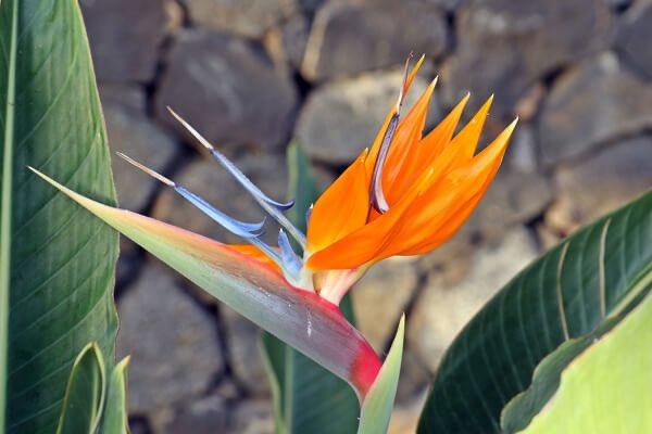 #今日のお花 のお届けです! 本日12月6日は #極楽鳥花  #花言葉 気取った恋  一度見たらなかなか忘れられないお花、極楽鳥花!ストレリチアの方が今は浸透してるかな? これからお正月に向けてとても皆様に人気のあるお花です。  気取った恋って僕はしたことあるのかな? #花のモナミ  #上尾市