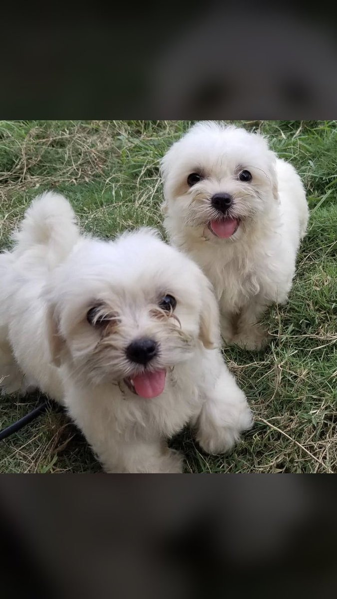 Here we having some weekend LHASA ASPO pups to gift a LOVE one dis weekend, to beautify your home with these beauties during this XMAS period or is there a CRUSH of yours on dis APP trust me if u gift her one of dis beauties a YES is waiting 4 u.  Price: 75k Pls  help RETWEET <br>http://pic.twitter.com/k4CA7TDuti
