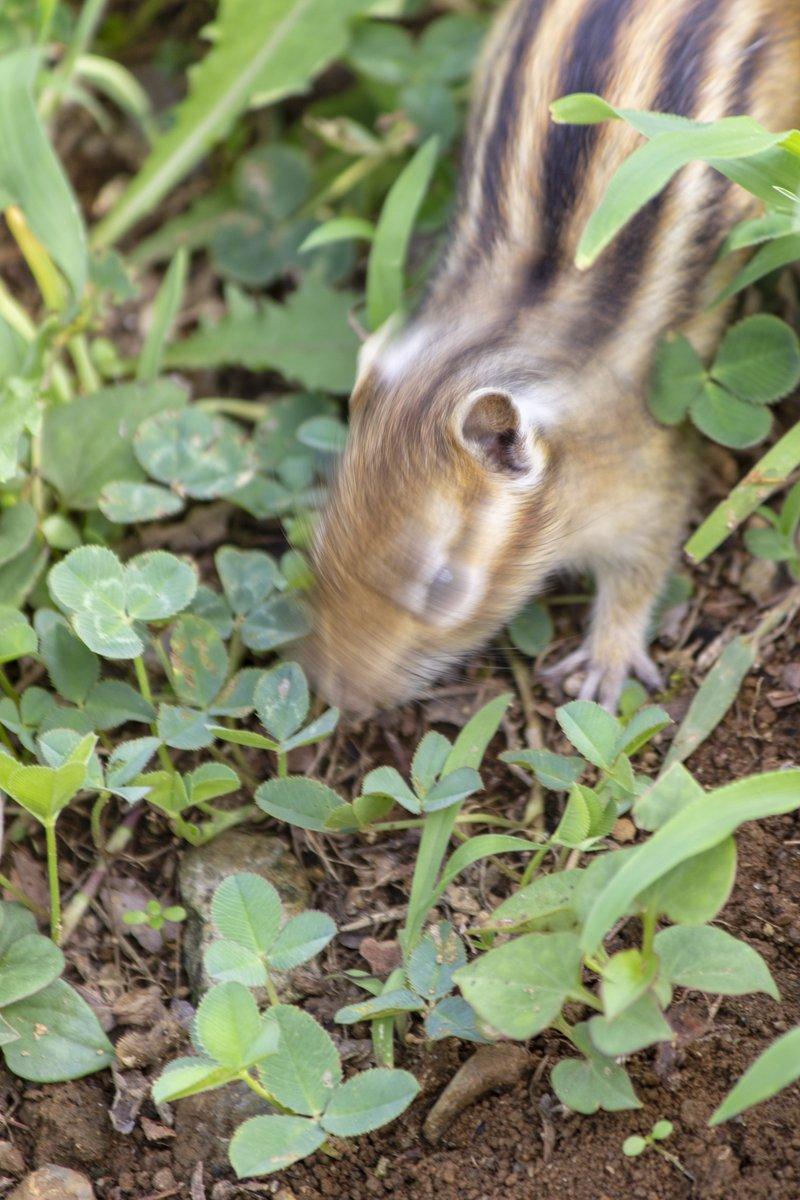 シバドリルならぬ…シマリスの写真集、準備中です!ご期待ください!!#シマリス #chipmunk#動物 #animal #cute #japan#photography #写真好きな人と繋がりたい #写真撮ってる人と繋がりたい#キリトリセカイ#ファインダー越しの私の世界