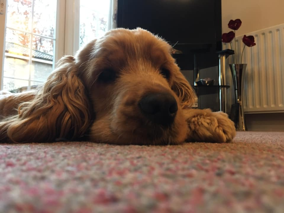 Hearing dog puppy Bear catching a deserved 40 winks after a very impressive training session   Bear is currently in the third stage of training and it won't be long before he is changing the life of a deaf person  #SundayMorning <br>http://pic.twitter.com/7ZJQSwrzjw
