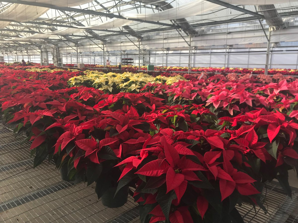 Replying to @AAA_Travel: Colorful poinsettias will soon be filling hotel lobbies in Ashland, OR.  #AAAInspector 557