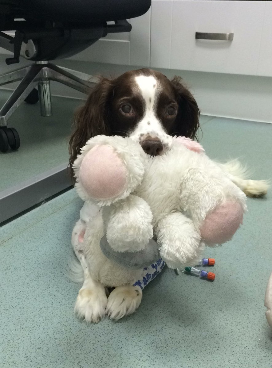 This is Amber. Recently she became very lethargic and stopped eating. She was initially treated for anemia, but now she's most likely fighting a bone marrow disease. She always has a toy to comfort her during tests, and you can help her below. 13/10https://www.gofundme.com/f/ambers-vets-fees?utm_medium=copy_link&utm_source=customer&utm_campaign=p_lico+share-sheet …