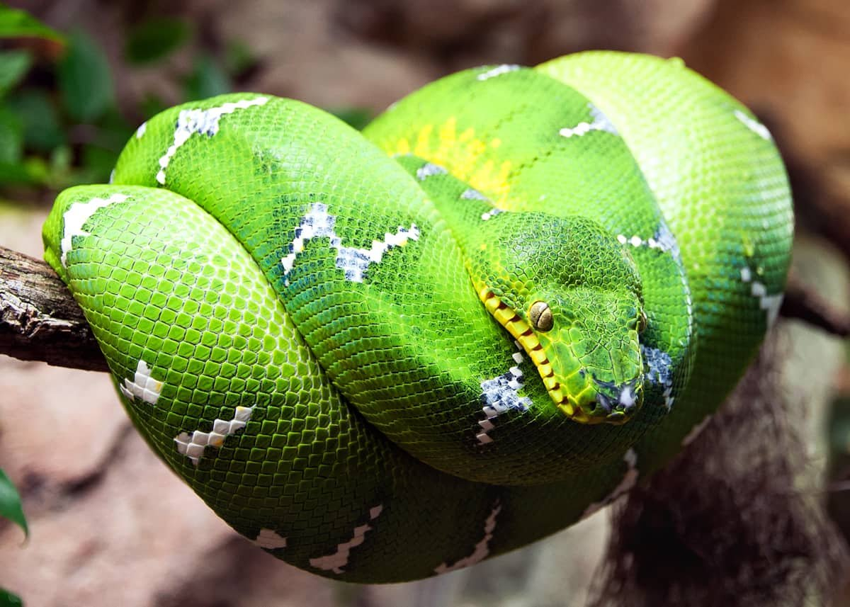 𝙱𝙾𝙽𝙴 𝙼𝙾𝙼𝙼𝚈 On Twitter Boa Constrictors Actually Don T Have Heat Pits If Your Friend S Boa Was One Which Is Probably Why You Didn T See Them P Mochi Up There Is A Ball
