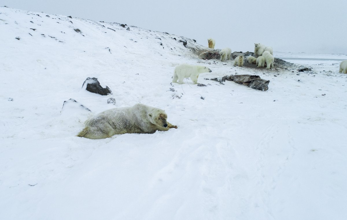 50+ polar bears were spotted outside a village in Russia.  They usually hunt on sea ice, but wildlife experts say it's declining because of warm temperatures caused by climate change. That's forcing many to look for food on land. (AFP/World Wildlife Fund Russia/Maksim Dyominov) <br>http://pic.twitter.com/szfkcBqsh0