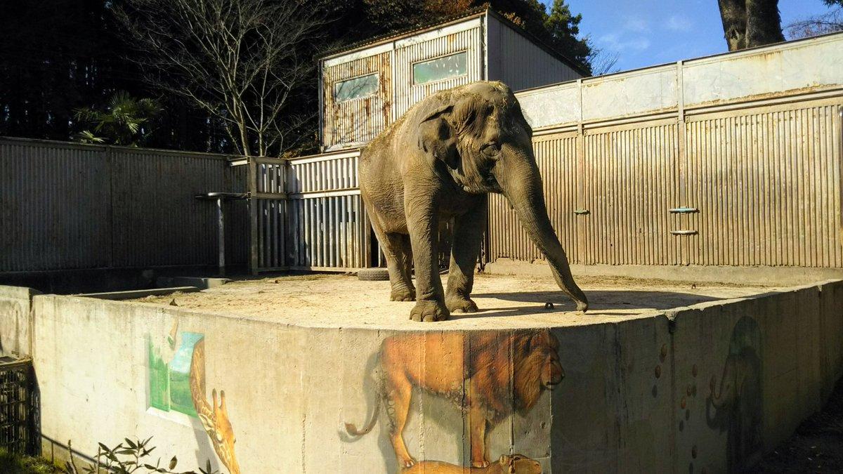 45年間ここにいる。 ここだけにいる。 バックヤードなんて無い。 地面はコンクリート。 最近、砂が少しだけ入れられた。  現代日本の動物園。 こんな展示をいつまで許しているのですか? #宇都宮動物園 #宇都宮市 #栃木県 #日本 #動物園 #園長 #JAZA #動物福祉 #動物愛護 #動物愛護法 #ゾウ