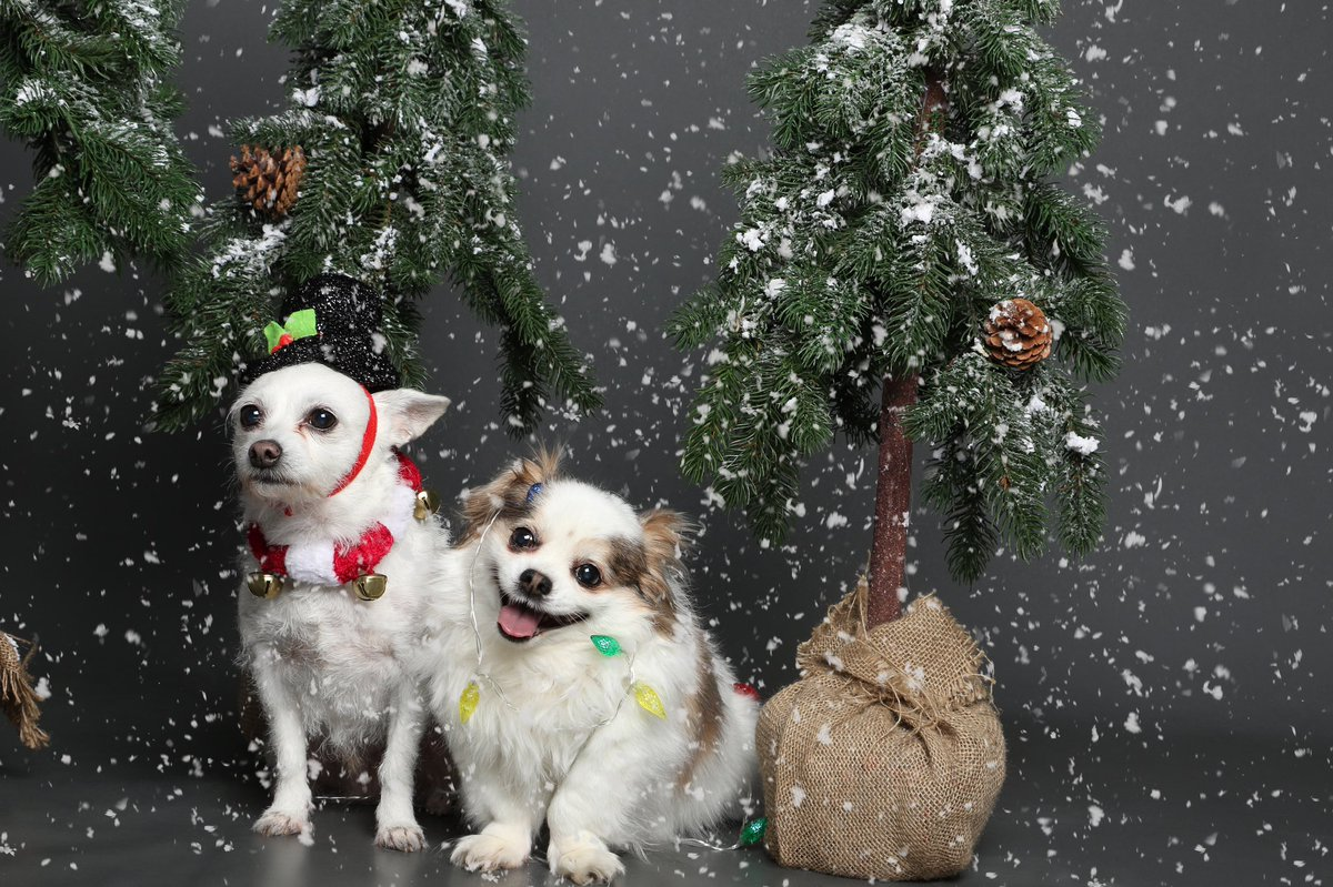 Took my dogs to take their yearly christmas photos. It's really hard when you have one super photogenic dog and one dog having an existential crisis. https://t.co/4gUyIsB5OJ