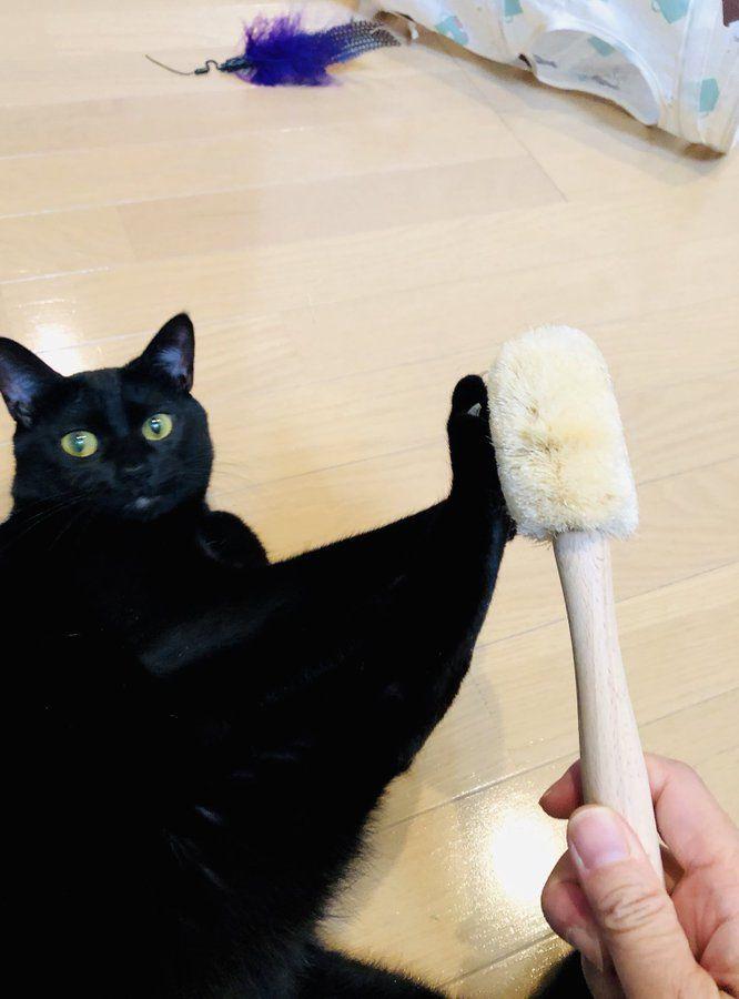 だが断る「あっそういうの大丈夫です」 真っすぐな瞳でブラッシングを拒否する猫ちゃんがかわいい -  @itm_nlabzoo
