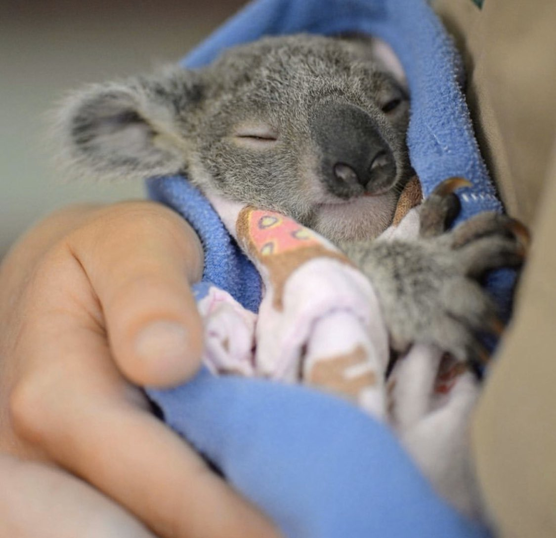 With native wildlife under more threat than ever before, our @AustraliaZoo Wildlife Hospital is increasingly busy rehabilitating sick, injured & orphaned animals to release back to the wild. We have a dedicated team working 24/7 for thousands of patients that are admitted  <br>http://pic.twitter.com/t5r85mFOci