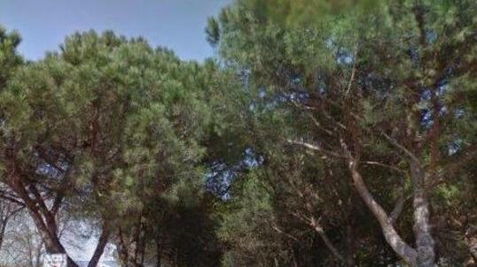 A Mogliano 56 pini sono a rischio. E il sindaco vu...