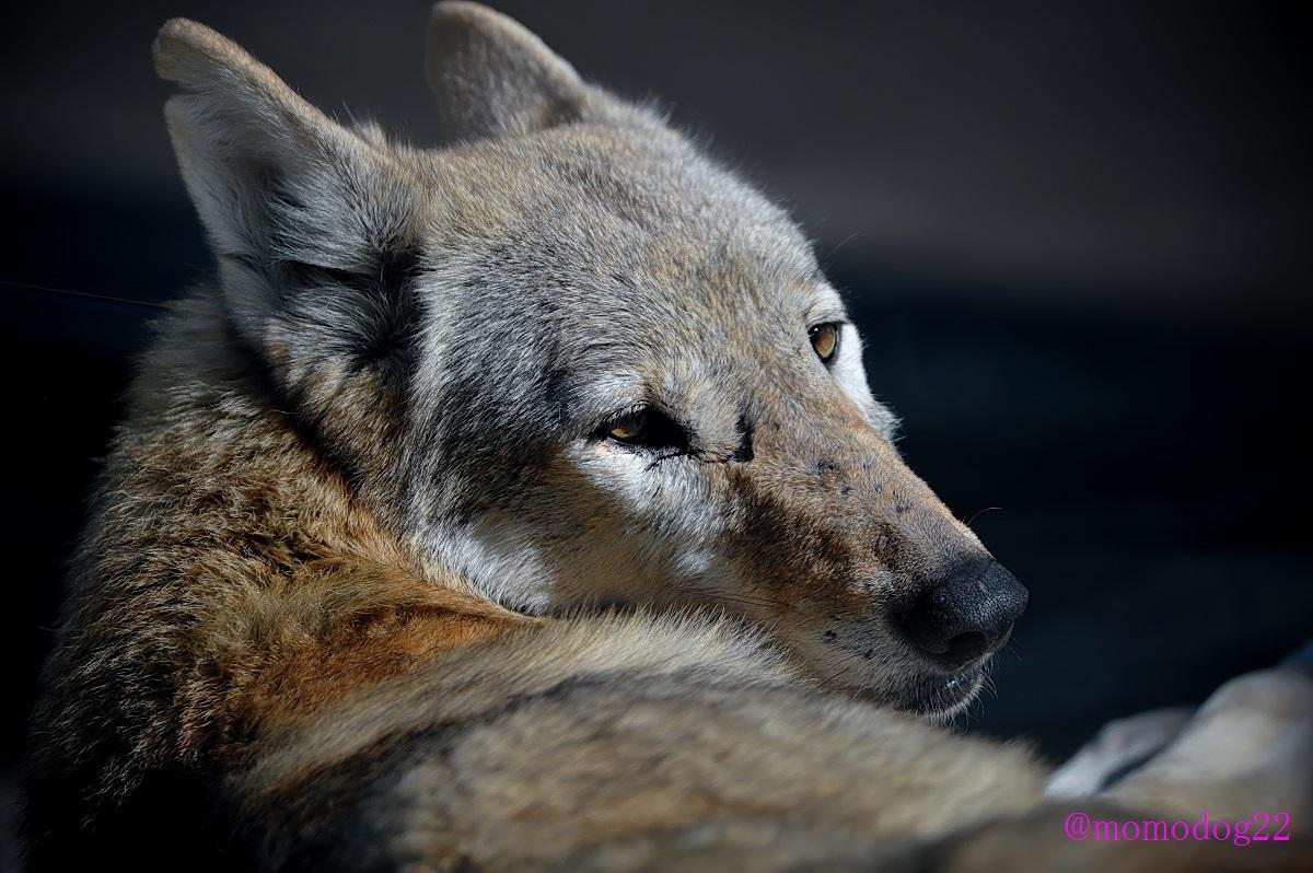 オオカミはやはりかっこいい。がしかし、ガラス越しに隣のメスを見つめるオスのオオカミがまるで乙女のようだった(12/4 天王寺動物園)