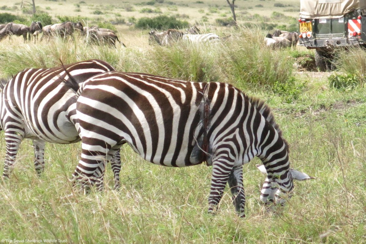 This mother zebra looked to be in terrible pain with a tight wire snare around her stomach. She's just one of several wild patients successfully treated and helped by the SWT/KWs Amboseli Vet Unit…  https://www. sheldrickwildlifetrust.org/news/mara-mobi le-veterinary-unit/mara-vet-unit-oct2019  … <br>http://pic.twitter.com/sDKfKGwRDP