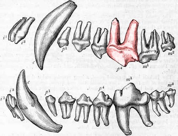 Зубы животных картинки с подписями