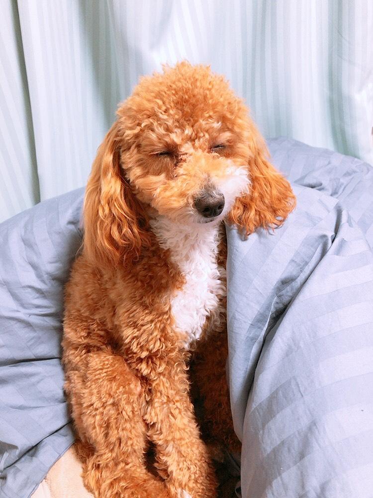 寝ている犬、ほんまに見てるだけで癒されるので寝ているペットの写真を貼りまくってほしい
