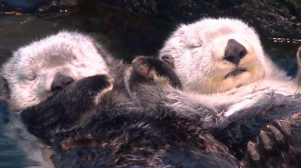 【ラッコの睡眠】ラッコは寝る時は水面で寝ます。野生のラッコは流されないように自分の体に昆布を巻いて寝ますが水族館にいるラッコは昆布がないため他のラッコ仲間やパートナー(夫や嫁)と手を繋いで寝ます。