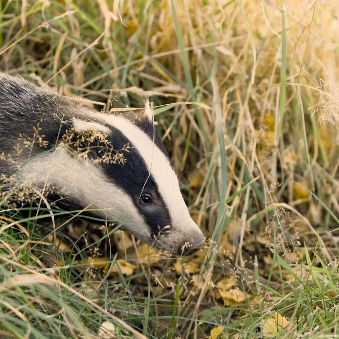 Retweet if you believe badgers - one of the most persecuted animals in the UK - are an icon of British wildlife worth protecting    ebh_photography on IG <br>http://pic.twitter.com/cOMm23WYVh
