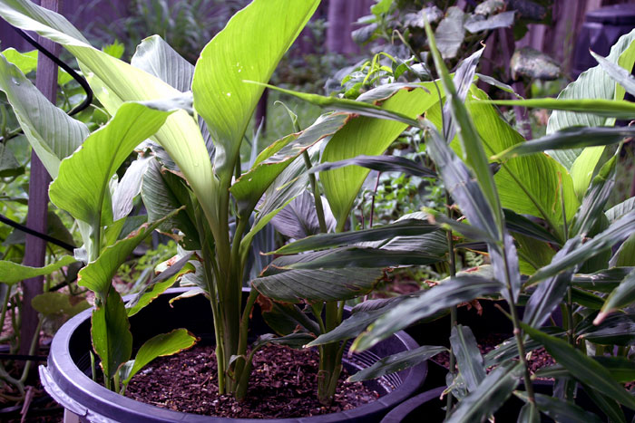 Turmeric (Curcuma longa) know How to grow turmeric plant in containers, the Growing condition of Turmeric, Harvesting turmeric plant, Pests, and disease Curcuma longa and more about the plant. ..read..naturebring.com/grow-turmeric-……/