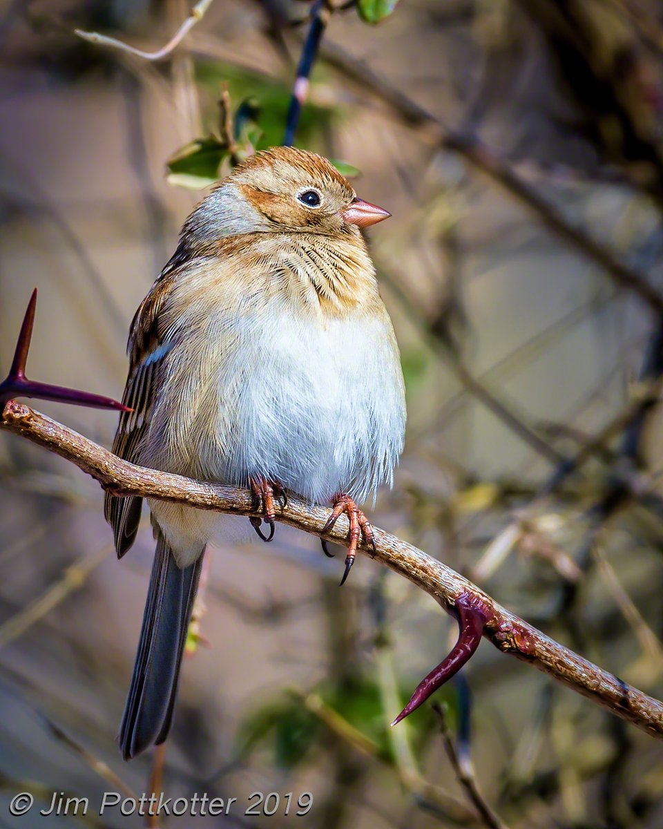 While most of the little brown jobs were on the ground looking for food on a cold day, this apparently well-fed Field Sparrow took to the branches. I was happy to catch him in good light as he puffed out a bit to stay warm. I like the tiny details in this shot.  #birds #wildlife <br>http://pic.twitter.com/0mEvMNUJU7