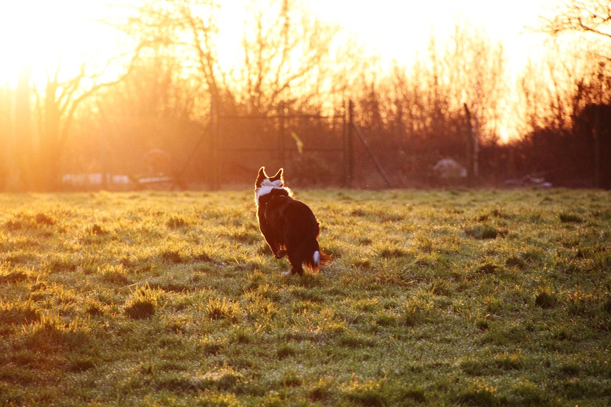 🌅 There's no better way to enjoy a #sunrise than with a #Collie by your side😍 Nox is an amazing lad who's ready to find his #foreverhome now👍 👇Meet him👇 bit.ly/ldsNOX #bordercollie #dogoftheday #rescuedog #mondaymorning #beautiful #mondaymotivation @DogsTrust
