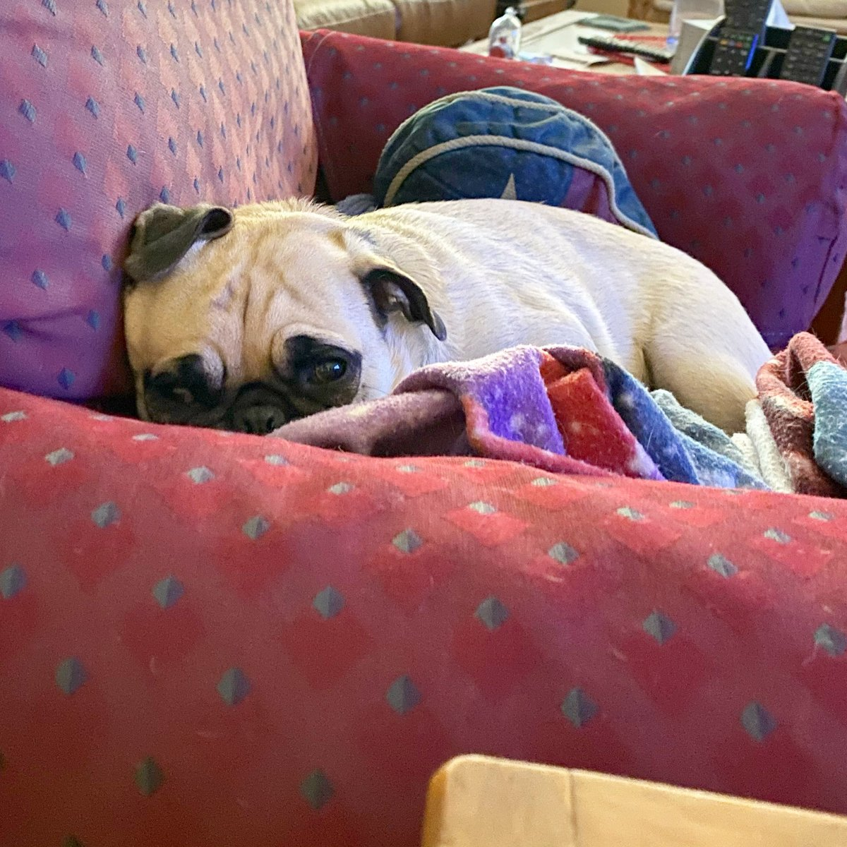 Monday vibes—it's chilly today! #MondayMorning #MatchaThePug<br>http://pic.twitter.com/G1rzb0wf37