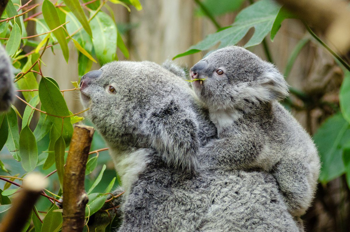 #Lesaviezvous  Le koala serait le plus grand dormeur du monde animal. Il peut dormir jusqu'à 20 heures par jour, soit 2 heures de plus que le paresseux.   #viesauvage #wildlife #cuteanimal #animauxsauvage #environnement #faunesauvage #nature #faunesauvagepic.twitter.com/fAT8R8fdgf