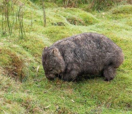 """""""Wildlife"""" Tasmanien Australien  Wombat + Tasmanian devil <br>http://pic.twitter.com/5kk8ib8nXB"""