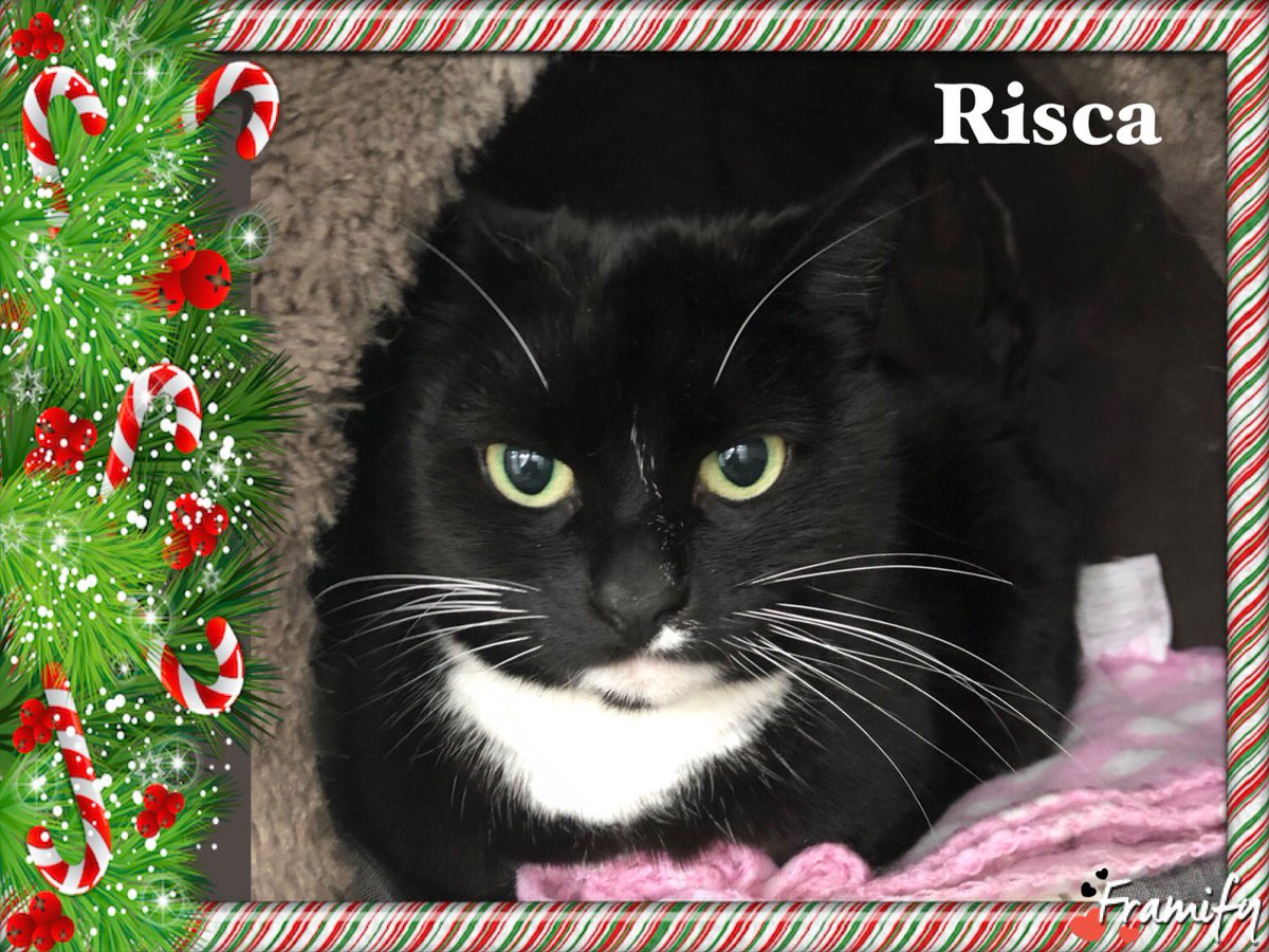 🎄On our #AdventCalendar today is Risca. Found as a stray she's very shy and wary of the shelter surroundings at the moment. She's around 5 years old and is looking for a calm household. Who can offer a beautiful tuxie girl lots of love and tlc? 🎄#WalthamAbbey