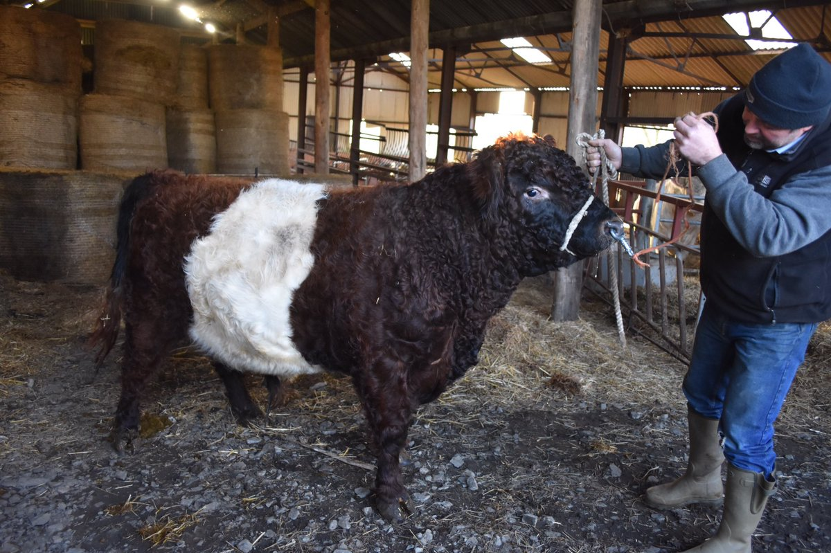 Derwentdale Red Campbell. The first TwoMills bull following the Scottish clan theme #beltedgalloway #gonative
