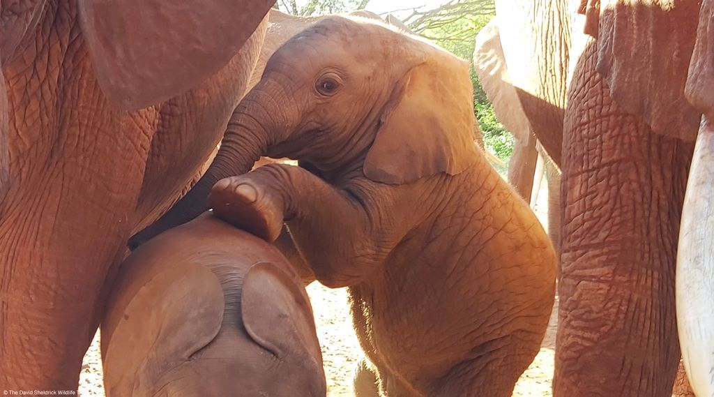 Strike a pose with Eco! This little bull is hardly camera shy – as you can see here. He's one of 34 calves (that we know of) born to elephants we have rescued, raised and reintegrated. Meet the babies here:  https://www. sheldrickwildlifetrust.org/orphans/calves    <br>http://pic.twitter.com/kKcTiUHQNj