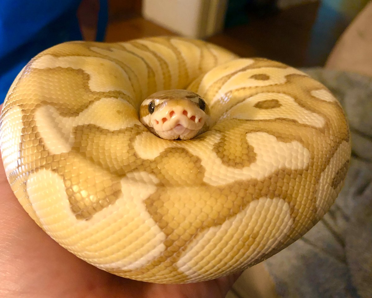 Sarah Mcanulty Ph D On Twitter I Think Snakes Have Just 2 The Things That Look Like Nostrils Are Heat Pits That Sense The Heat Of Potential Prey And Predators Presumably Idk The