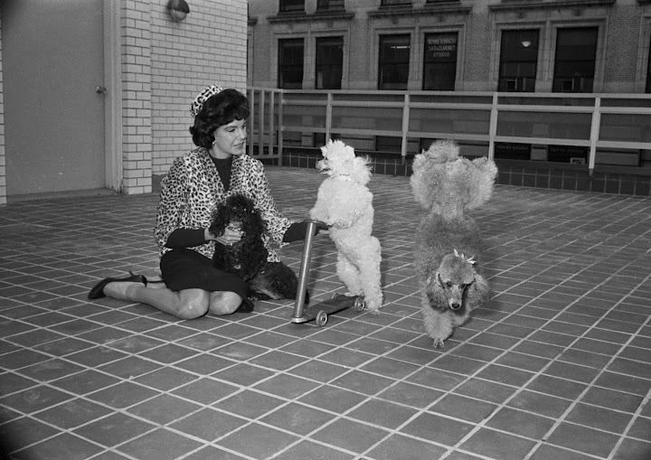 Jacqueline Susann plays with her three trained poodles, 1963