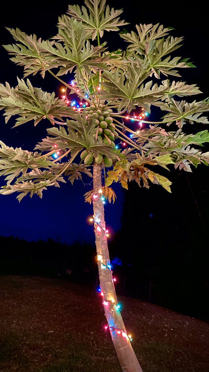 #hawaii #maui Maui #It's officially the holidays when our #papaya tree lights up! #MerryChristmas #mauihawaii