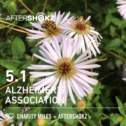Bees love the asters. 5.1 @CharityMiles for @alzassociation. Thx @Aftershokz for sponsoring me. #ShokzMiles