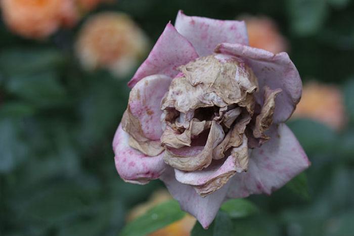 Les fleurs après lannonce de Resident Evil 3 #StateOfPlay