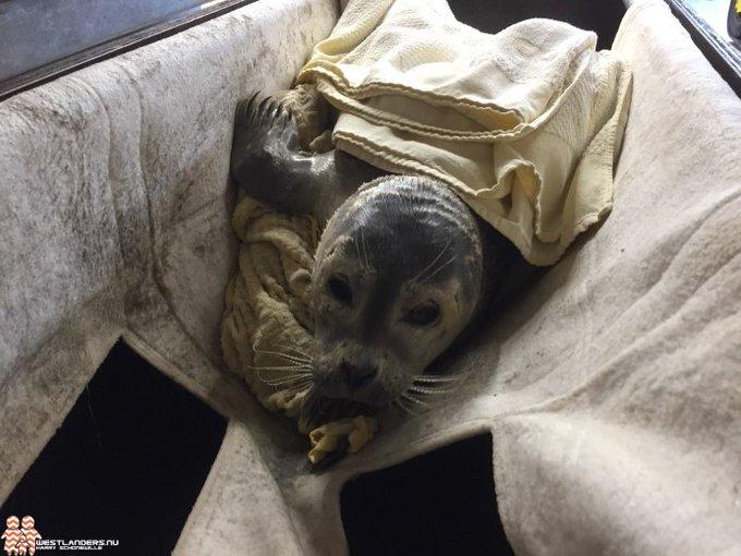 Jonge zeehond aangespoeld op het strand https://t.co/xvM0ZErWLd https://t.co/TPKxZf7Wmi