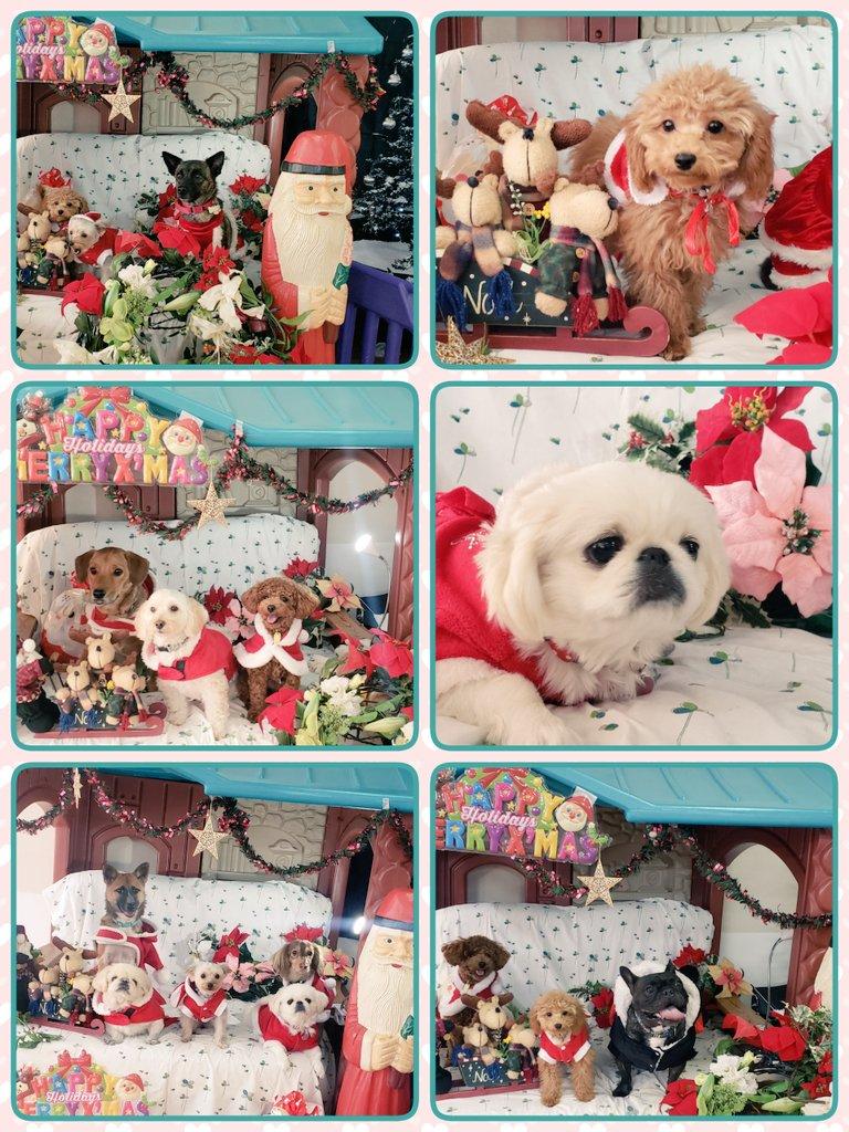 今日は犬の保育園でクリスマスとお正月の写真を撮影しました 沢山のお友達が参加して、仲良く並んで撮ったり、お洋服着る練習やアイコンタクトやおすわり、待てが上手に出来ました  #ペッツ・フォー・ライフ・ジャパン #PFLJ  #犬の保育園 #社会化pic.twitter.com/tduF8EfDf3