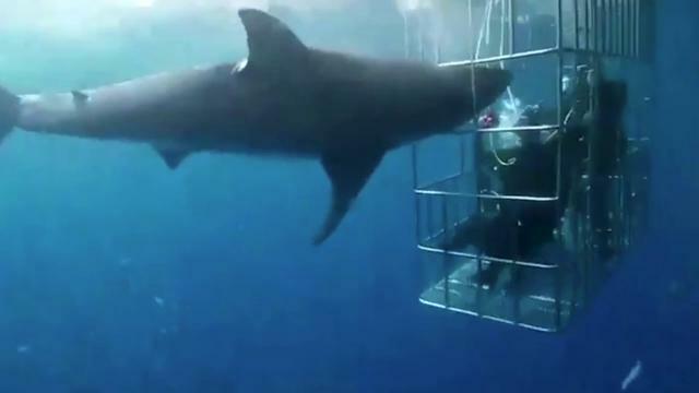 Lo squalo attacca i sub nella gabbia, la denuncia:...
