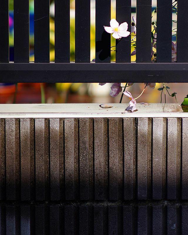 無題#街歩き#scene#花 #flower#植物 #plants#路傍 #roadside#sony #sonynex #nex5n #e_mount#nikonf_mount #f_nexadapter#nikon #ais #aisnikkor #aisnikkor10525#singlefocuslens #mflens #oldlens https://ift.tt/2YC9GVi