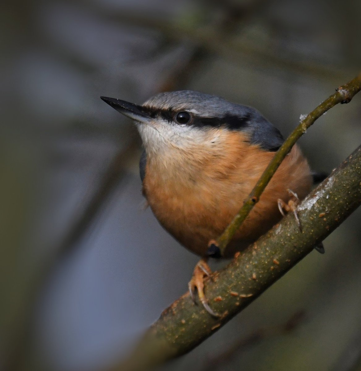 Eurasian Nuthatch ~ Wiltshire #TwitterNatureCommunity #RSPB #EarthCapture #NaturePhotography #UnderTheBirdWork #naturelovers