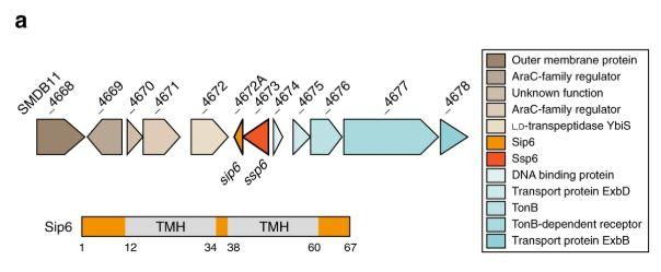 A family of T6SS effector proteins that form ion-selective pores  @SarahCoulthurs1 @UoDLifeSciences @GiusyM1990 @microbedave @HenrikStrahl @SamJPitt   https://go.nature.com/2RHZR74