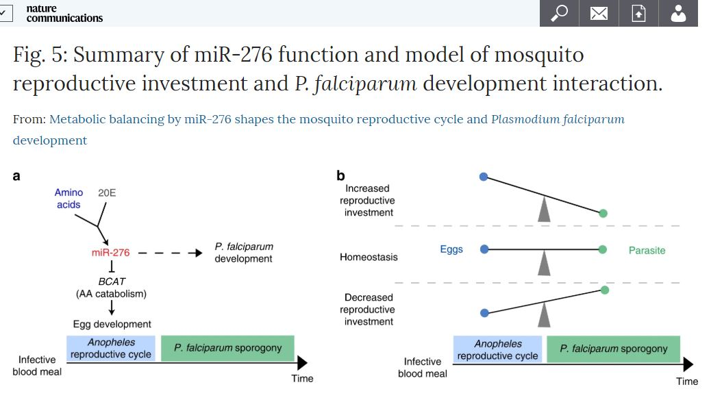 Metabolic balancing by miR-276 shapes the mosquito reproductive cycle and Plasmodium falciparum development  @L_Lampe @e_levashina @maxplanckpress #malaria  https://go.nature.com/2RNafKq