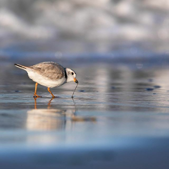 Plover Gone Wormin' 🐛 ↓#earthcapture #bbcearth #CanonFavPic #mycanonstory #natgeoyourshot #shorebirds #pipingplover #plover #nuts_about_birds #your_best_birds #kings_birds #pocket_birds #eye_spy_birds #birdpoty #audubonsociety #best_birds_of_ig  #n… https://ift.tt/36mfvsL