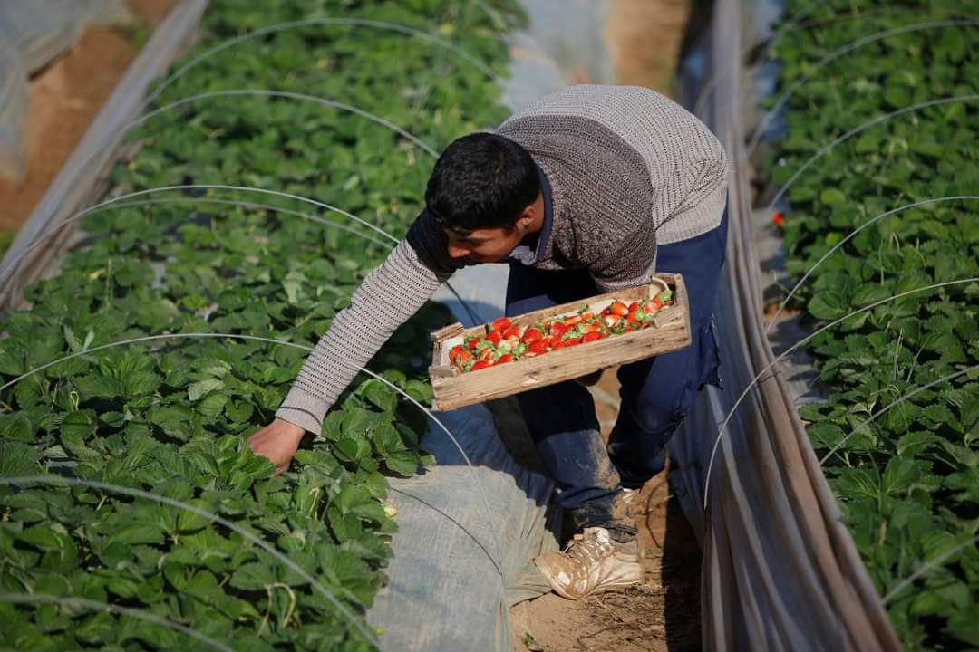 A Palestinian farmer harvests strawberries in northern Gaza. #Palestine #Gaza #Strawberry