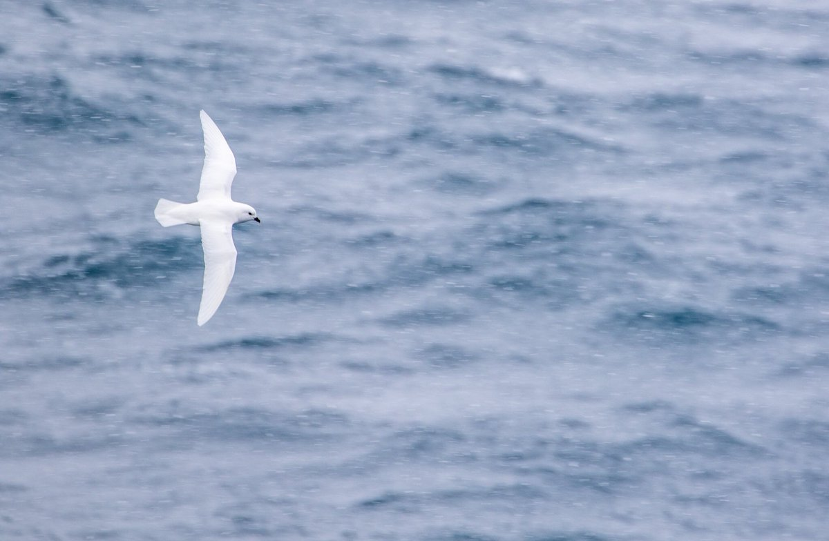 Snow petrels in the snow off the South Orkney Islands #seabirds #Earthcapture