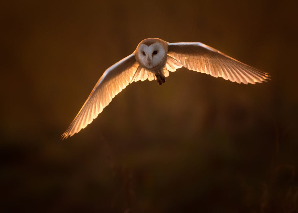 Been under the weather lately with the worst Tinnitus I've had in years, so was nice to get some Barn Owl images to take my mind off it. I hope you enjoy this backlit Barn Owl in stunning golden light.  What a bird !! @CanonUKandIE @BBCEarth @BarnOwlTrust #wildlife #photography