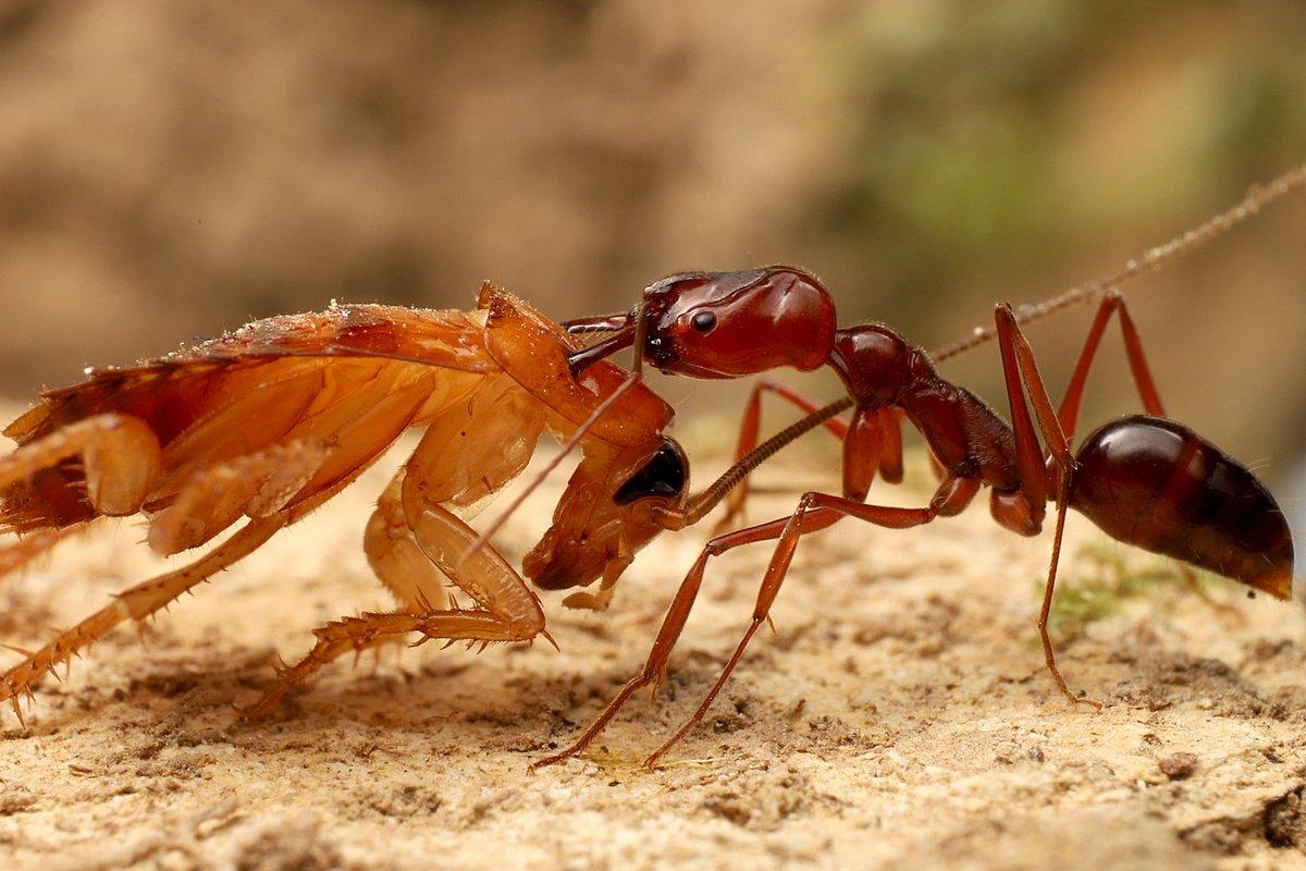 アゴを閉じる速度が時速200kmを超えるというアギトアリ。獲物であるゴキブリを捕えたオキナワアギトアリですが、ゴキブリの胸部にアゴが突き刺さっています。アギトアリの場合は、アゴ自体が相手にダメージを与える武器になるのです。