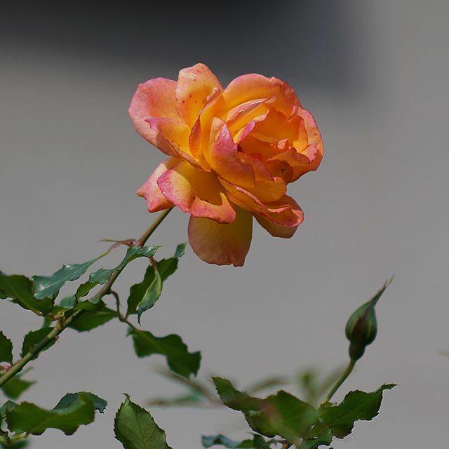 無題#街歩き#scene#花 #flower#植物 #plants#路傍 #roadside#sony #sonynex #nex6 #e_mount#nikonf_mount #f_nexadapter#nikon #ais #aisnikkor #aisnikkor10525#singlefocuslens #mflens #oldlens https://ift.tt/2PFvpYv